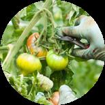 トマトの摘果